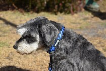 Florrie-Schnauzer-Banksia Park Puppies - 4 of 20