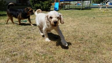 NOODLE- Banksia Park Puppies - 16 of 26