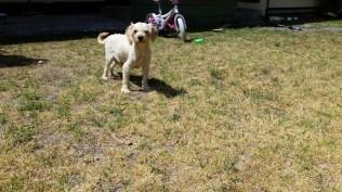 NOODLE- Banksia Park Puppies - 9 of 26