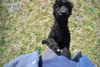 Razzie-Poodle-Banksia Park Puppies - 12 of 34