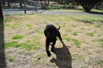 Razzie-Poodle-Banksia Park Puppies - 13 of 34