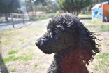 Razzie-Poodle-Banksia Park Puppies - 17 of 34