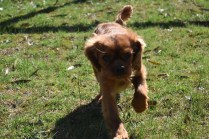 Roza-Cavalier-Banksia Park Puppies - 11 of 47