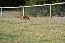 Roza-Cavalier-Banksia Park Puppies - 15 of 47