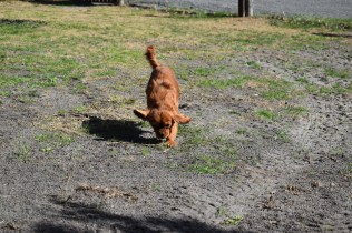 Roza-Cavalier-Banksia Park Puppies - 19 of 47