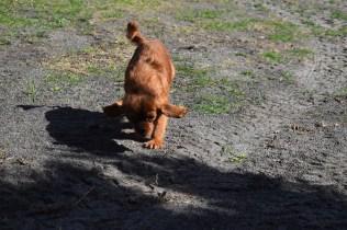 Roza-Cavalier-Banksia Park Puppies - 20 of 47