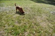 Roza-Cavalier-Banksia Park Puppies - 25 of 47