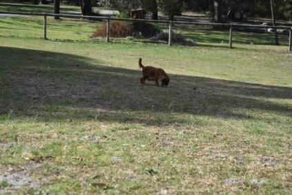 Roza-Cavalier-Banksia Park Puppies - 29 of 47