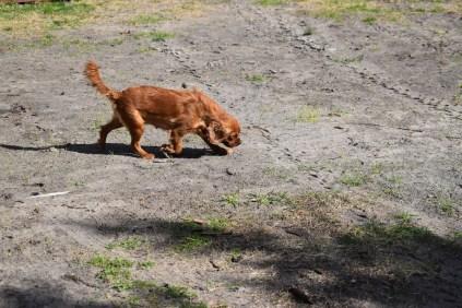 Roza-Cavalier-Banksia Park Puppies - 32 of 47