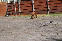 Roza-Cavalier-Banksia Park Puppies - 35 of 47