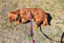 Roza-Cavalier-Banksia Park Puppies - 4 of 47