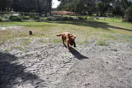 Roza-Cavalier-Banksia Park Puppies - 43 of 47