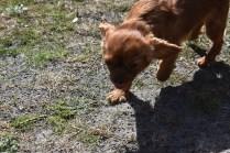 Roza-Cavalier-Banksia Park Puppies - 45 of 47