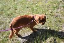 Roza-Cavalier-Banksia Park Puppies - 5 of 47