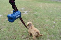 Bling-Poodle-7510-Banksia Park Puppies - 13 of 100