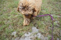 Bling-Poodle-7510-Banksia Park Puppies - 21 of 100
