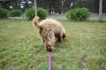 Bling-Poodle-7510-Banksia Park Puppies - 42 of 100