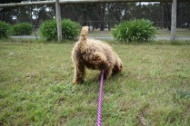 Bling-Poodle-7510-Banksia Park Puppies - 43 of 100