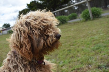 Bling-Poodle-7510-Banksia Park Puppies - 57 of 100