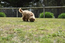 Bling-Poodle-7510-Banksia Park Puppies - 73 of 100