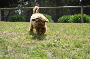 Bling-Poodle-7510-Banksia Park Puppies - 76 of 100