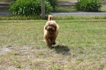 Bling-Poodle-7510-Banksia Park Puppies - 97 of 100