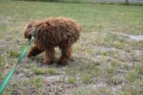 Bobbles-Poodle-6419-Banksia Park Puppies - 16 of 76