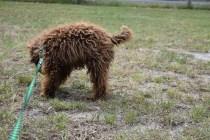 Bobbles-Poodle-6419-Banksia Park Puppies - 17 of 76
