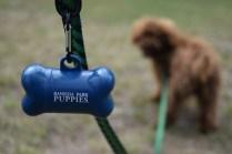 Bobbles-Poodle-6419-Banksia Park Puppies - 18 of 76