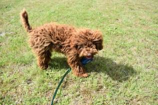 Bobbles-Poodle-6419-Banksia Park Puppies - 30 of 76