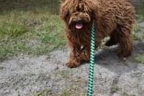 Bobbles-Poodle-6419-Banksia Park Puppies - 5 of 76