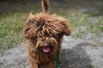 Bobbles-Poodle-6419-Banksia Park Puppies - 7 of 76