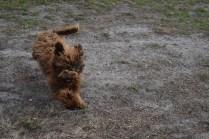 Bobbles-Poodle-6419-Banksia Park Puppies - 71 of 76