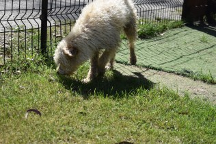 Snedley-Schnoodle-Banksia Park Puppies - 10 of 62