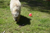Snedley-Schnoodle-Banksia Park Puppies - 24 of 62
