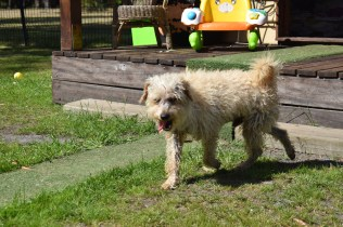 Snedley-Schnoodle-Banksia Park Puppies - 33 of 62