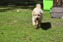 Snedley-Schnoodle-Banksia Park Puppies - 37 of 62