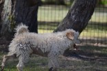 Snedley-Schnoodle-Banksia Park Puppies - 62 of 62