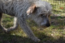 Snedley-Schnoodle-Banksia Park Puppies - 8 of 62