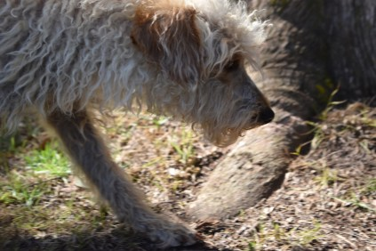Snedley-Schnoodle-Banksia Park Puppies - 9 of 62