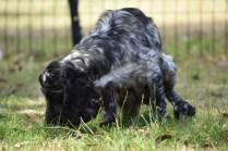 Shorty-Cocker Spaniel-Banksia Park Puppies - 18 of 37