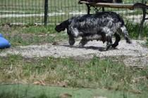 Shorty-Cocker Spaniel-Banksia Park Puppies - 26 of 37