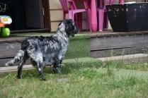 Shorty-Cocker Spaniel-Banksia Park Puppies - 35 of 37
