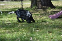 Shorty-Cocker Spaniel-Banksia Park Puppies - 4 of 37