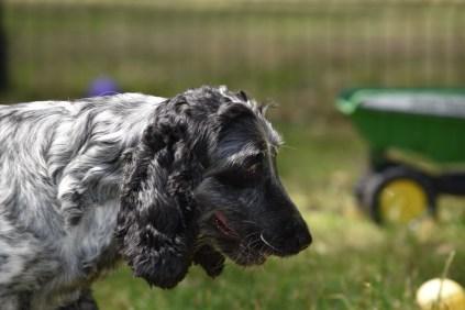 Shorty-Cocker Spaniel-Banksia Park Puppies - 9 of 37