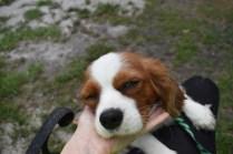 Dani-Cavalier-Banksia Park Puppies - 2 of 37