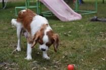 Dani-Cavalier-Banksia Park Puppies - 35 of 37