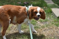 Dede-Cavalier-Banksia Park Puppies - 2 of 51