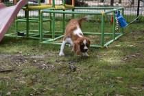 Dede-Cavalier-Banksia Park Puppies - 22 of 51