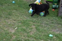 Poppie-Poodle-Banksia Park Puppies - 1 of 29